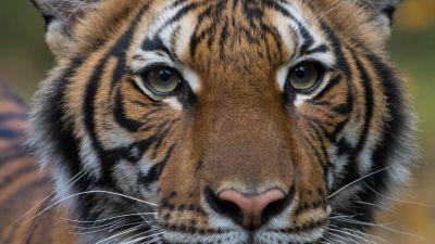 Den coronasmittade tigern Nadia.
