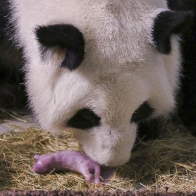 Jättepandan Lun Lun med sin nyfödda unge i Atlanta Zoo i USA.