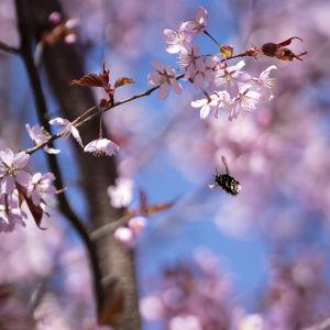 Kimalainen lentää kirsikankukissa.
