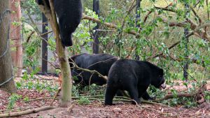 Mustakarhuja eläintarhassa, Etelä-Korea