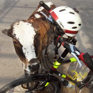 Lehmä tervehtii pyöräilijä Matti Rämöä Intiassa