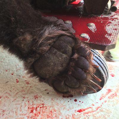 Ammutun karhun tassu ja verta lahtivajan lattialla.