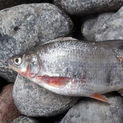 En silvrig fisk av arten vimma ligger på land på några stenar.