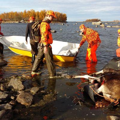 Jägare släpar skjuten älg till roddbåt