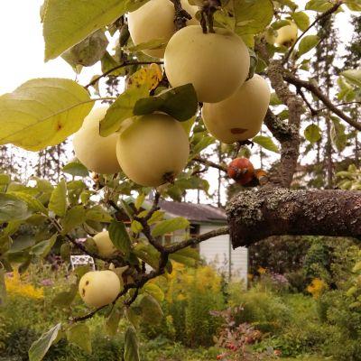 Äpplen i Kuppis koloniträdgård.