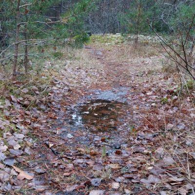 Stig i skogen med bruna löv och en vattenpöl efter regnet.