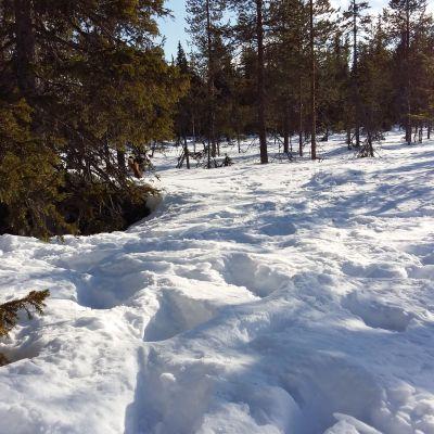 Djup snö i skog med granar.