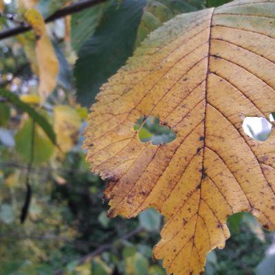 ett perforerat gult höstlöv