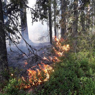 Metsähallituksen luontopalvelut polttaa metsää Suomussalmella. Metsä, palo.