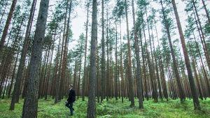 Suomi on suomalainen -sarjan juontaja Juhani Seppänen suomalaisessa mäntymetsässä.
