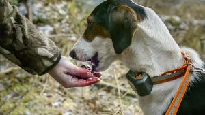 Hubert-koira.