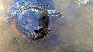 Saimaannorpan kuutti kurkistaa vedestä.