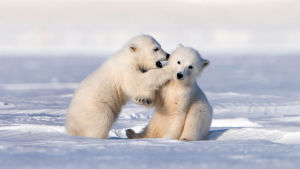 Jääkarhunpennuilla on edessään suuri seikkailu. Ne lähtevät emonsa kanssa pitkälle vaellukselle.