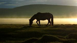 Hevonen syö ruohoa laitumella aamunkoitteessa Mongolian aroilla