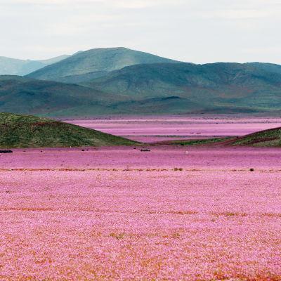 Blomsterprakt i Atacamaöknen efter häftiga regn år 2015