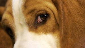 En beagle