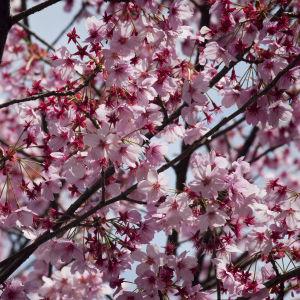 Kirsikkapuu kukkii Tokiossa.