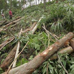 Fällda eukalyptusträd i skog i Kina.