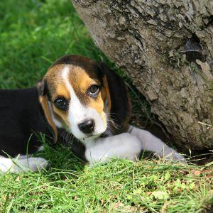 En liten beaglevalp gömmer sig under en trädstam och tittar mot kameran.