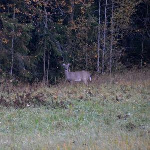 En vitsvanshjort står på åkern, på väg in i skogen.