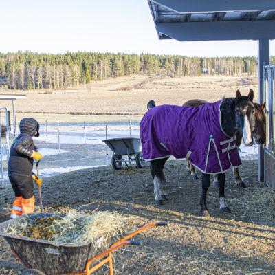Hevosia Harjun oppimiskeskuksen pihatossa.