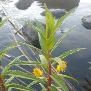 Vad är detta för en växt? undrar Johanna.