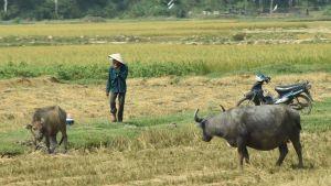 En man och två kor går på en åker. En moped står parkerad.