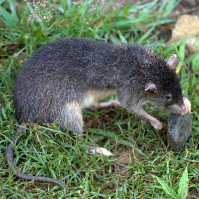 Rattus detentus, råttan som Valter Weijola upptäckte.