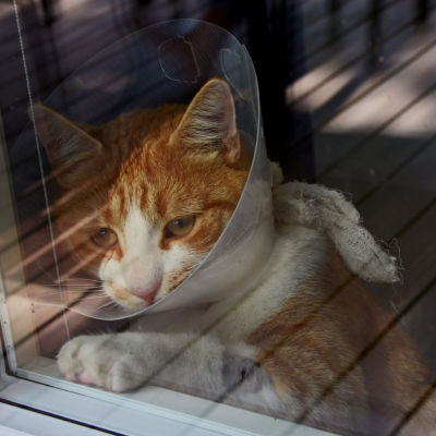 Katten Sputnik som blev överkörd av en robotgräsklippare.