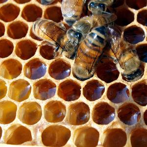 mehiläisiä mesikennostossa