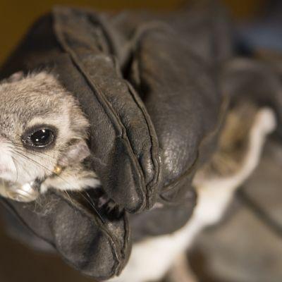 Liito-orava luontokartoittajan kädessä.