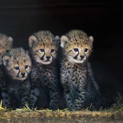 Fyra av de sex gepardungar som föddes på zoo i Nederländerna.