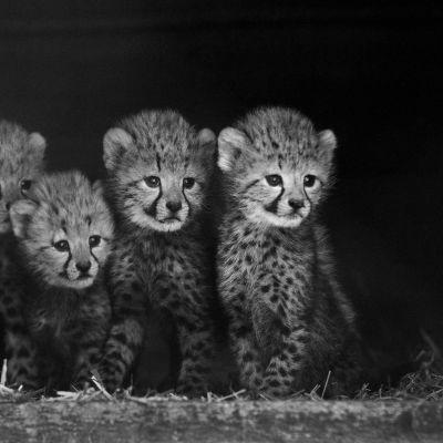 Svartvit bild på fyra av de sex gepardungar som föddes på zoo i Nederländerna.