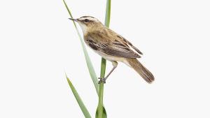 Ett foto på en fågel taget av Sanna Kannisto.