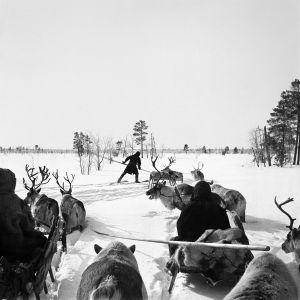 Främre delen av vår karavan sätter sig i rörelse. Främst Jägo, som på skidor banar väg i den djupa snön. Turuhansk-Taz-Vach 1913. Foto: Kai Donner, Museiverket.