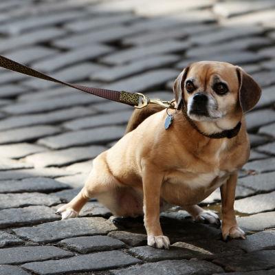 En hund i koppel sitter på en gata.