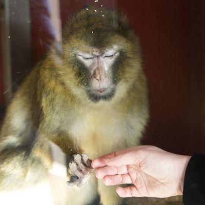Berberiapina Moki pitää kättä ikkunassa ihmisen kättä vasten Korkeasaaren eläintarhassa.