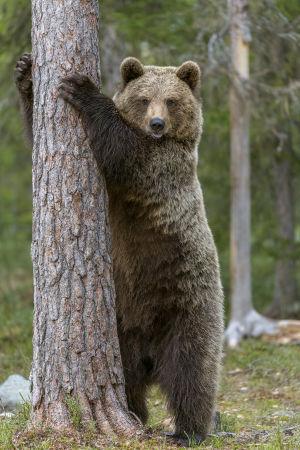 Karhu nojaa puuhun.