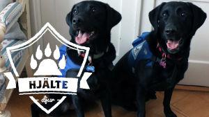 Två diabeteshundar sitter på golvet i en lägenhet. De är stora och svarta labradorer, och har på sig blå västar. På vänstra sidan i förgrunden loggan för Yle Huvudstadsregionens artikelserie Hjältedjur.