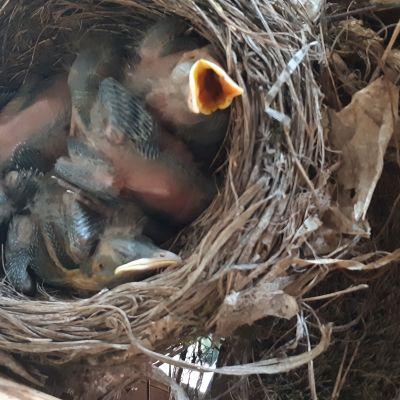 Seuraa mustarastaan pesintää halkopinossa – katso, kuinka vanhemmat hoivaavat poikasiaan
