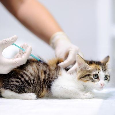 Katt får injektion.