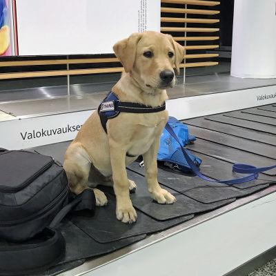 Valpen Rico skolas till att bli Finlands andra mathund. Ricos uppgift är att förhindra att resenärer för in förbjudna livsmedel till Finland.