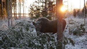 Markku Harju huolehtii kesyyntyneestä Mervi-hirvestä Raippaluodossa.