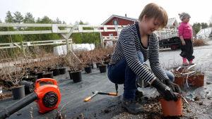 Liisa Kuha leikkaa pensaita talven vaurioiden jäljiltä.