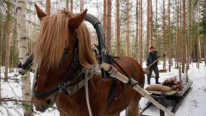 Jyri-Pekka Lemettinen lastaa suomenhevosen vetämään rekeen puita.