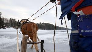 Suomenhevonen vetää rekeä jäällä.
