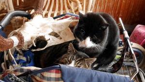 Kissat lepäilevät vanhoissa lastenvaunuissa.
