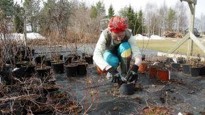 Nainen leikkaa pensaita talven jäljiltä.