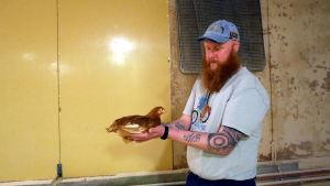 Lassi Kuortti pitelee käsissään seitsemänviikkoista kananpoikasta Kuorttisen luomukanalassa Lappeenrannassa.