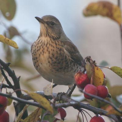 Gråprickig fågel som sitter i en buske med röda bär.